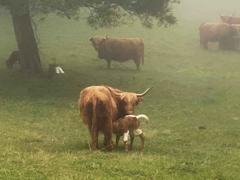 Highlander cow with Longhorn cross calf at foot